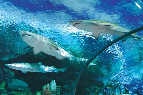 View of the Sharks above the Clear Tunnel at the Ripley Aquarium in Pigeon Forge