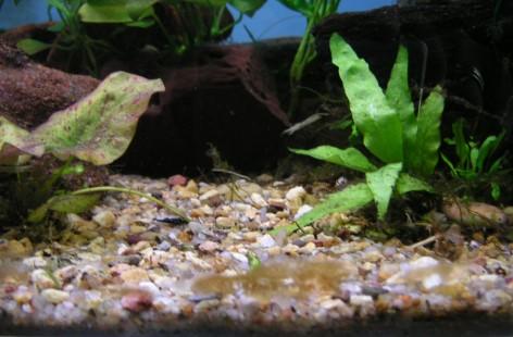 Algae in Aquaria