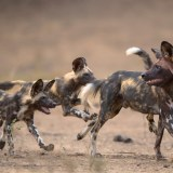 Hwange National Park and the Survival of the African Painted Dog