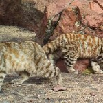 Endangered Andean Cats, Hiding Out in South America