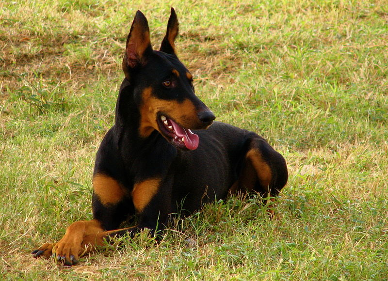 Best Guard Dogs for Your Home (Guest Blog) (5/6)