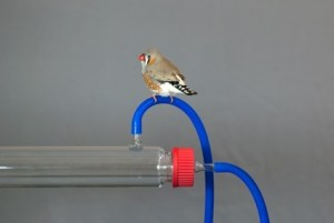 A Simple Line. A zebra finch ponders upon abstraction