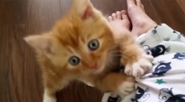 Adorable kitten attacks cat pajamas