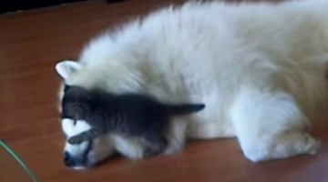 Little kitten playing with his big doggy friend