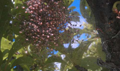 baby spiders in fruit tree