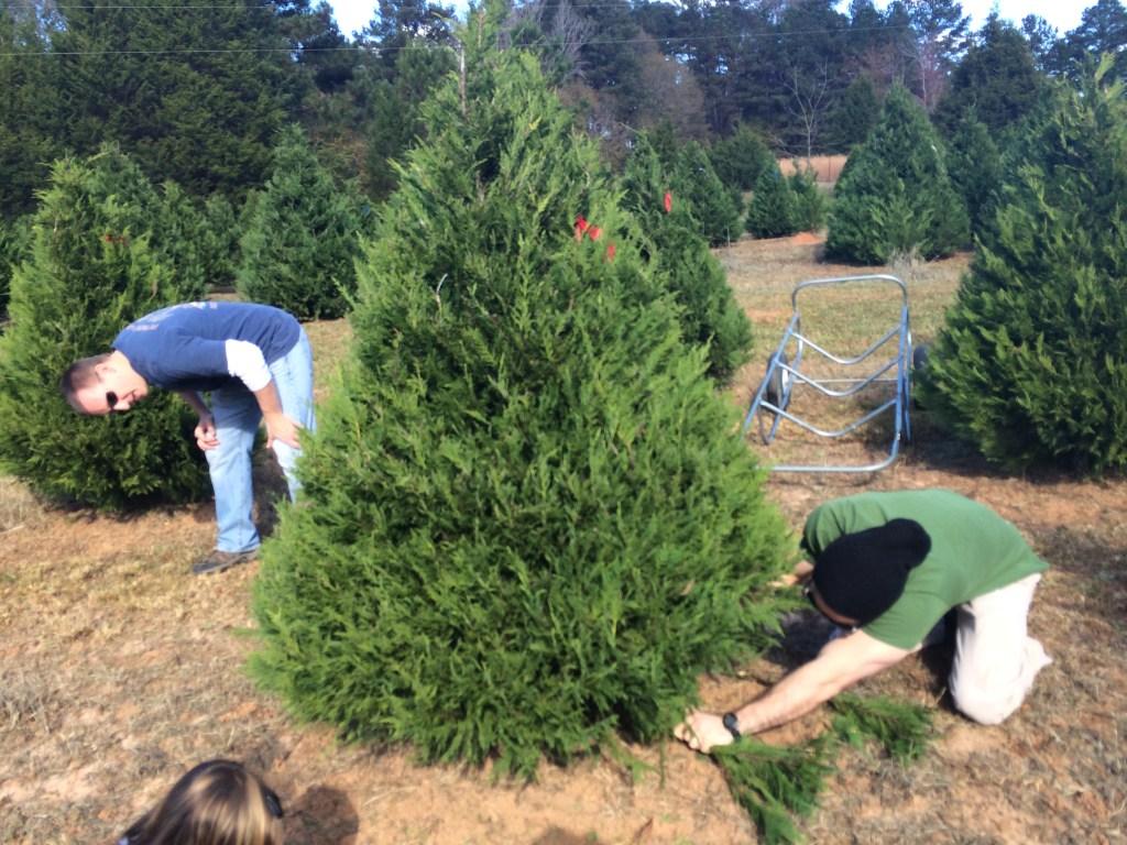 cutting down christmas tree at sugarland