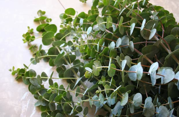 eucalyptus-7