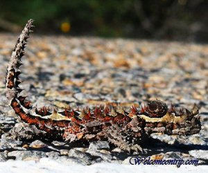 thorneddevil