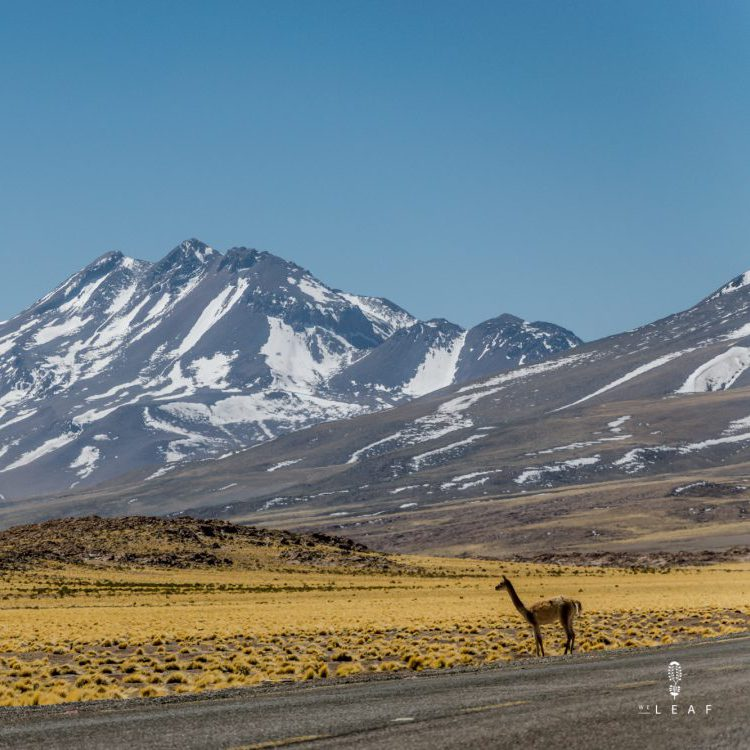 Vicuña crossing the street in the Chilean Andes