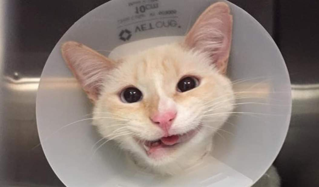 Meet Duchess, The Rescue Cat That Shows Her Lovely Smile