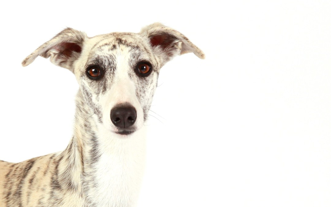 Meet: Zen, a whippet puppy
