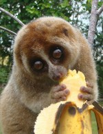 cute-slow-loris