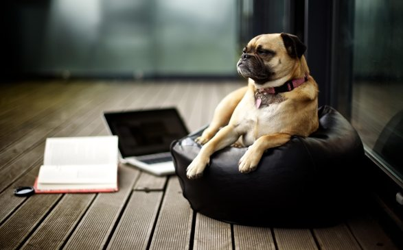 Pug_intellectual