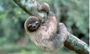 A three-toed tree sloth hangs from the trunk of a tree in the jungle on the bank of the Panama Canal