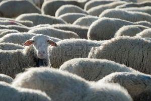 sheep raising its head