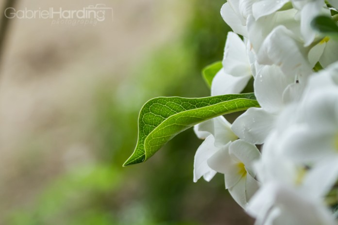 leaf, details, flowers, white, nature, dominican republic