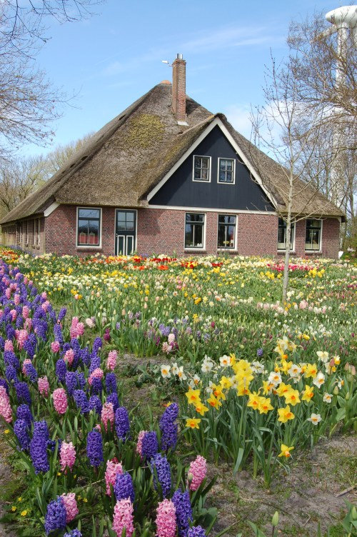 Medium Of Holland Bulb Farms