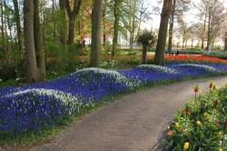 Hilarious Muscari Waves Spring Bulbs Flower Blog Royal Dutch Flower Gardens Woodland Wa Royal Dutch Gardens Customer Service