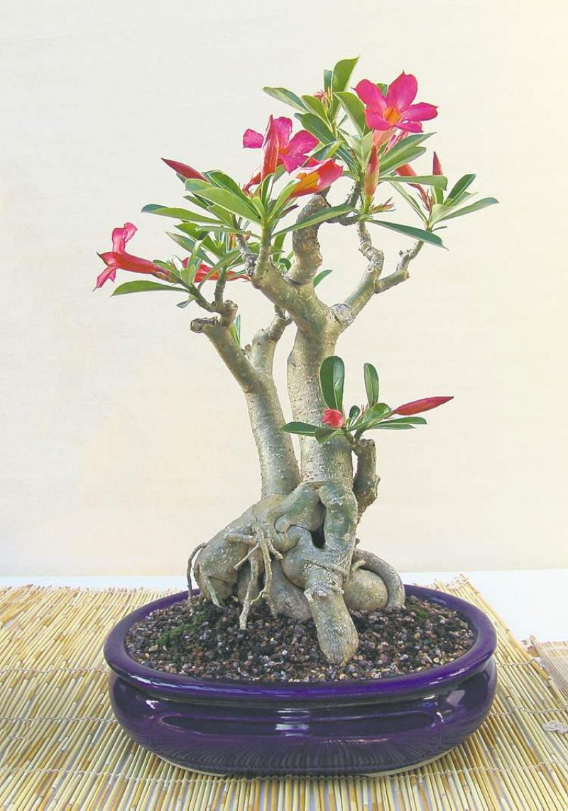 Flagrant A Bulbous Uncommon Bonsai It Produces Bright Pink Flowers Desert Rose Is A Small Succulent Tree Adaptswell To Art Bonsai Winnipeg Free Press Homes houzz 01 Desert Rose Care