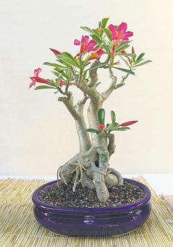 Small Of Desert Rose Care
