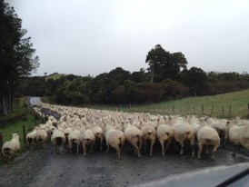 New Zealand Sheep Traffic