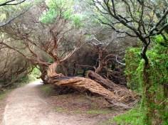 Twisted Tea Tree Wilson's Promontory