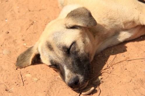 Siem Reap Dog