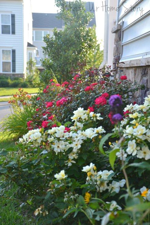 knockout rose hedge, side yard bed, sun loving plants