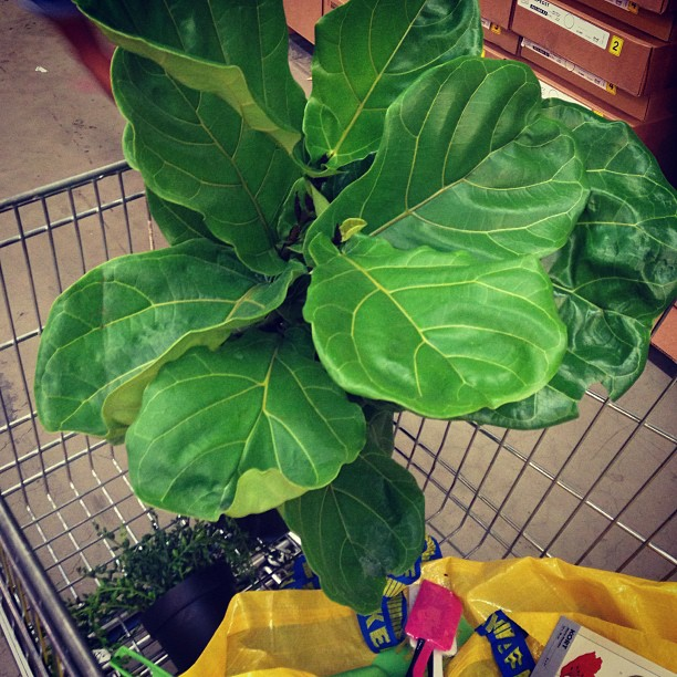 fiddle leaf fig in IKEA