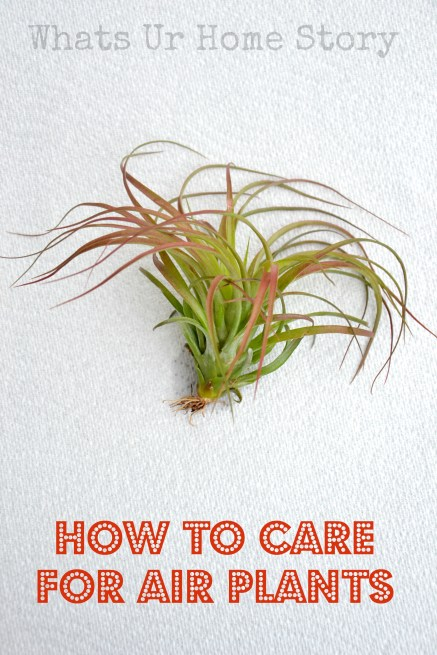 how to care for air plants whats ur home story. Black Bedroom Furniture Sets. Home Design Ideas