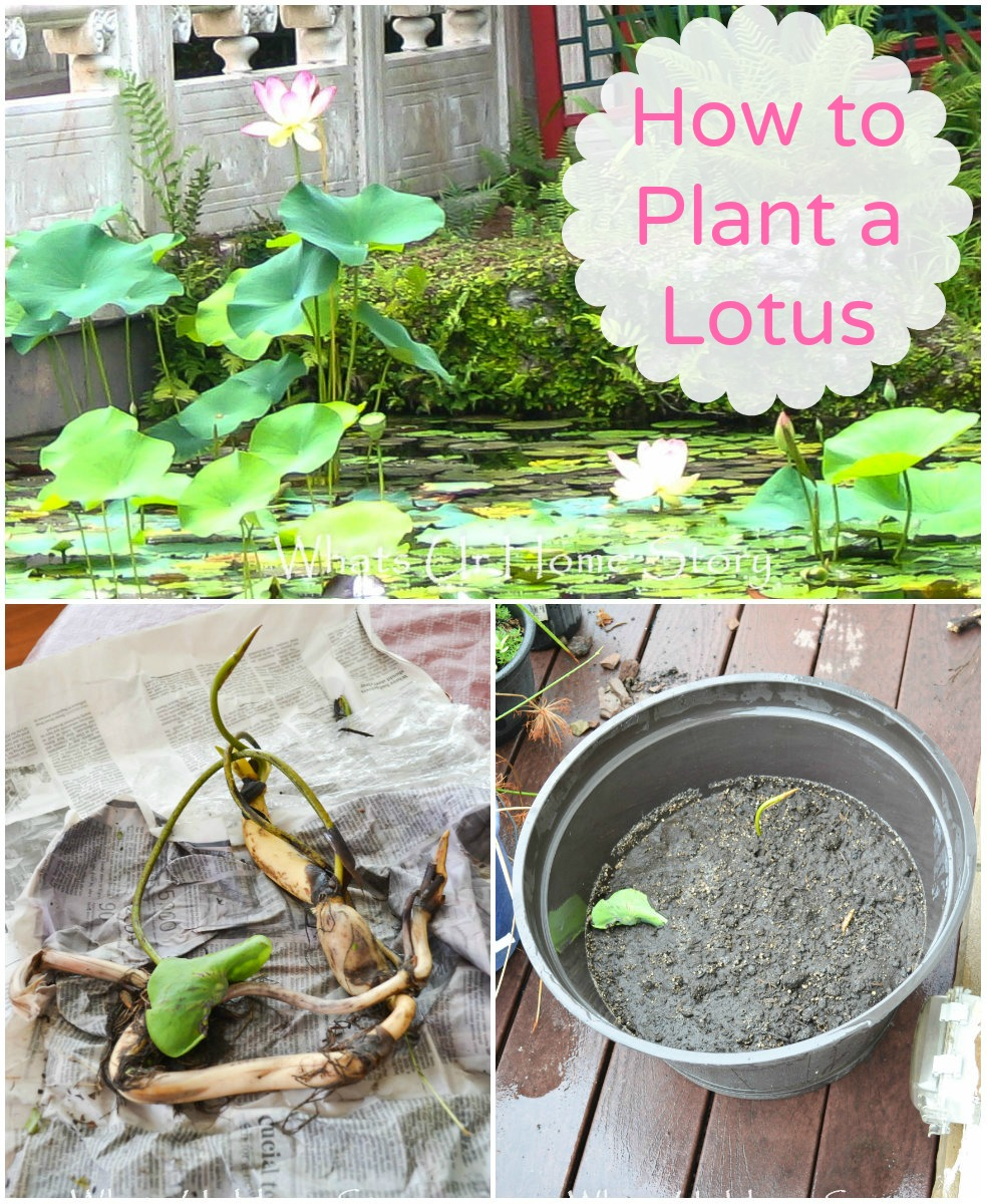 how to plant a lotus whats ur home story