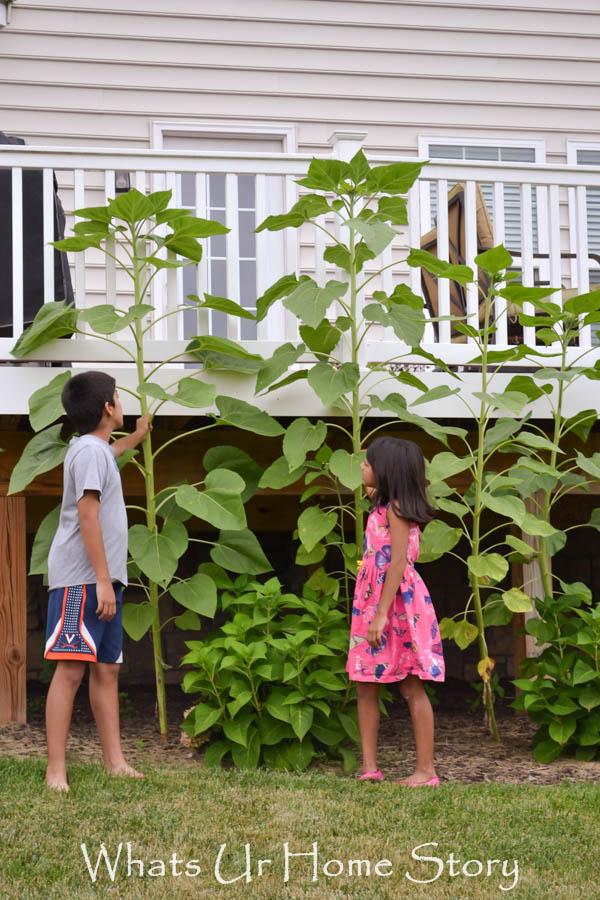 10ft sunflowers, backyard garden