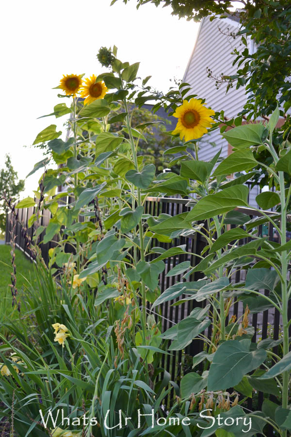 Sunflower bed, back yard garden