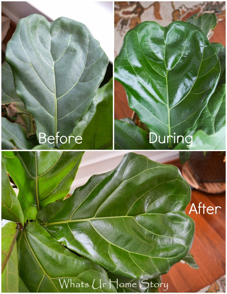 how to care for  fiddle leaf fig tree