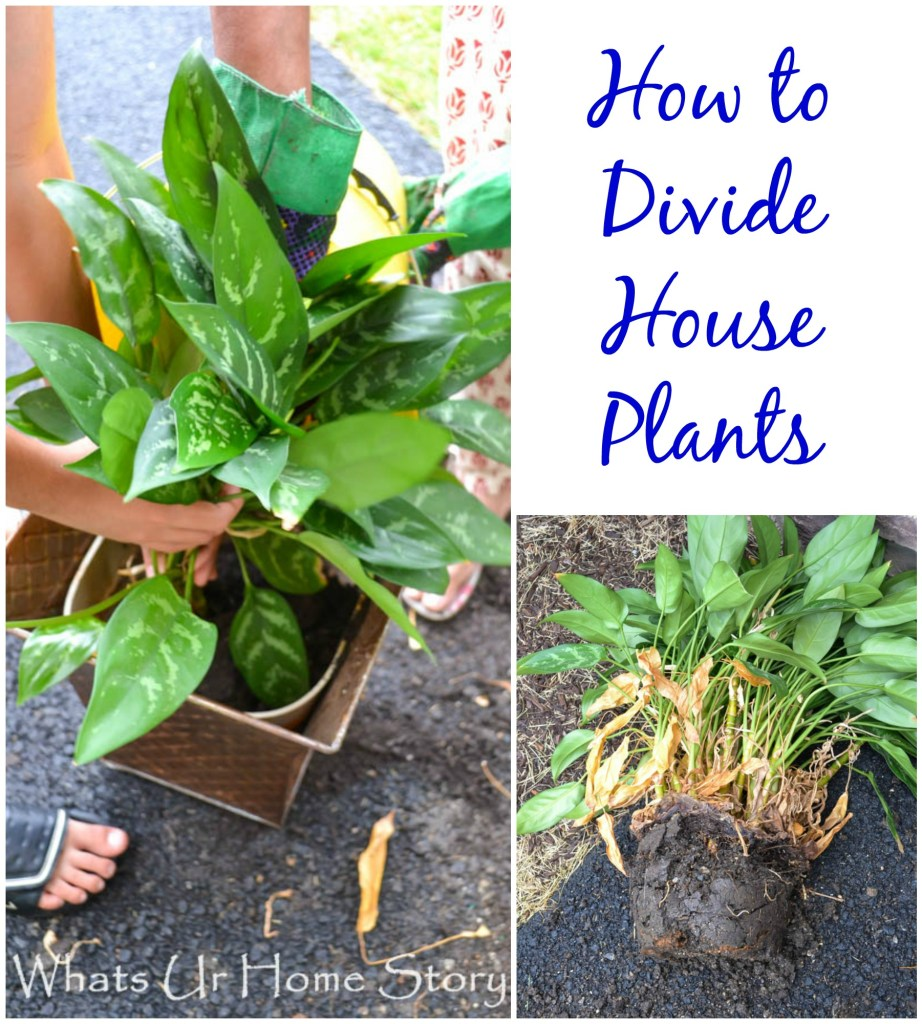 how to divide indoor plants, How to Divide House Plants - Whats Ur Home Story
