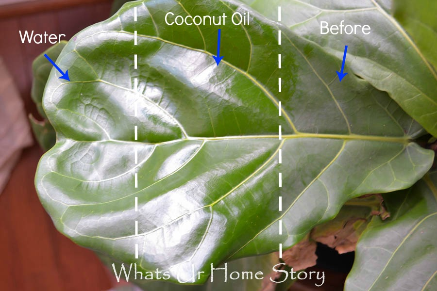 use coconut oil to clean fiddle leaf fig leaves