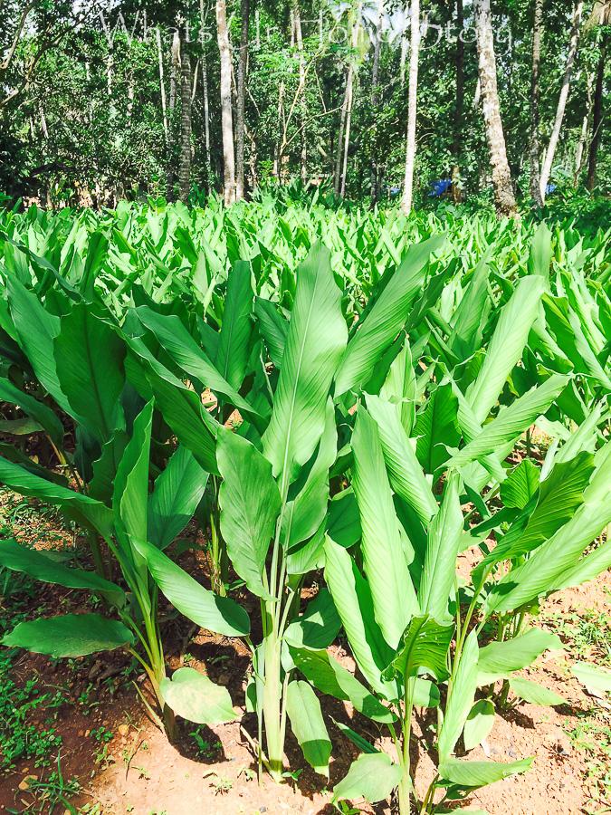 turmeric plant farm in kerala