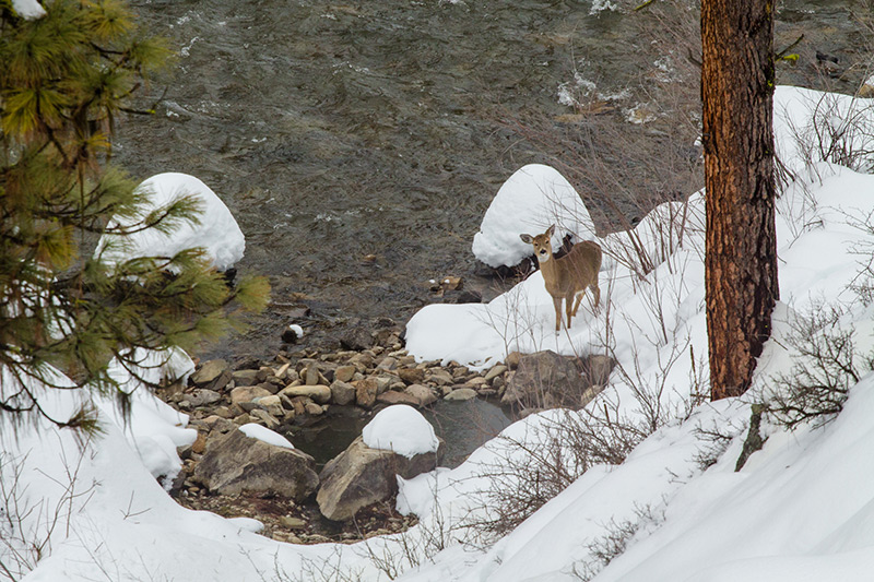 deer at the idaho hot springs