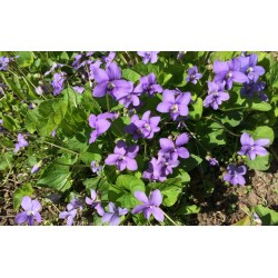 Small Crop Of African Violets For Sale
