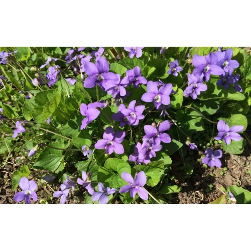 Medium Crop Of African Violets For Sale
