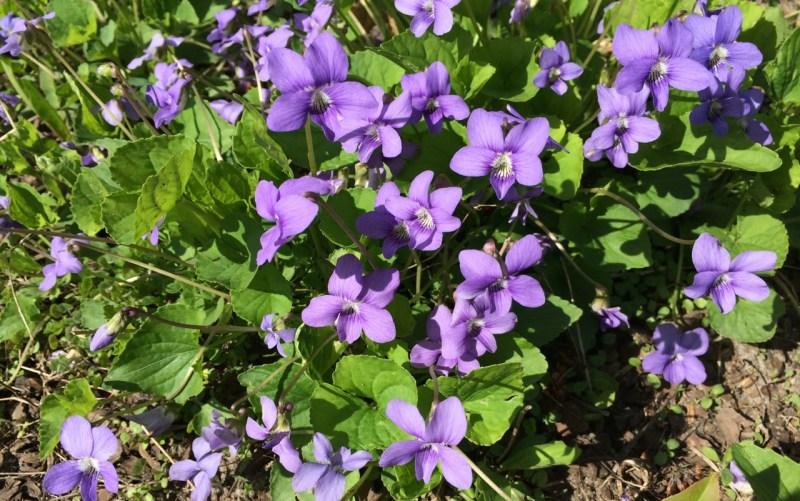 Large Of African Violets For Sale