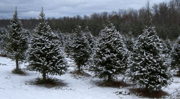 County H Tree Farm