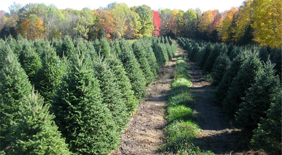 Hanauer's-Tree-Farms,-LLC