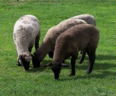 Sattler's Sheep