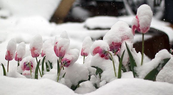 tulips-in-the-snow