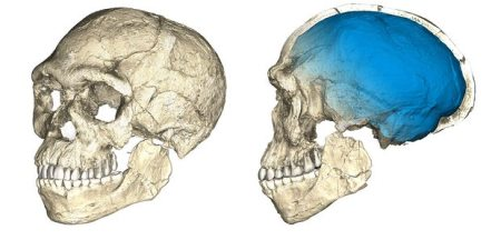 Two views of a composite reconstruction of the earliest known Homo sapiens fossils from Jebel Irhoud The braincase (blue) indicates that brain shape, and possibly brain function, evolved within the Homo sapiens lineage. Photograph: Credit: Philipp Gunz, MPI EVA Leipzig