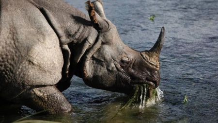 A great one-horned rhino eats water plants from a river in the Janakauli community forest bordering Chitwan National Park, Nepal, Aug. 1, 2010. (Associated Press)