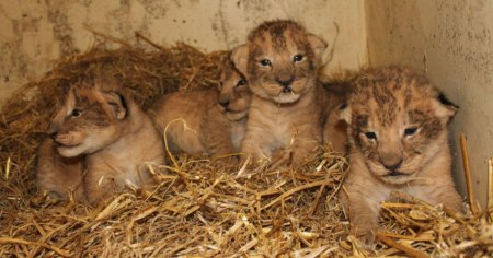 boras-zoo-killing-lions