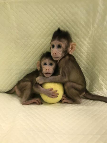 first-monkeys-cloned