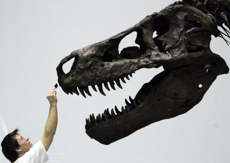"""TOKYO, JAPAN: David Hanke, an officer from the Exhibition Department of the Field Museum in the US city of Chicago, makes final touches on the skull of the world's largest Tyrannosaurus Rex, Sue, on display at the Dinosaur Expo 2005 at the National Science Museum in Tokyo, 14 March 2005. Sue was discovered by fossil hunter Sue Hendrickson in 1990 and purchased by the Field Museum in Chicago at public auction in 1997. (Credit: """"Cast and Specimen of the T.Rex Sue on loan from the Field Museum, Chicago, USA 2005 The Field Museum"""") (Photo credit: TOSHIFUMI KITAMURA/AFP/Getty Images)"""